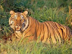 tiger-in-chitwan